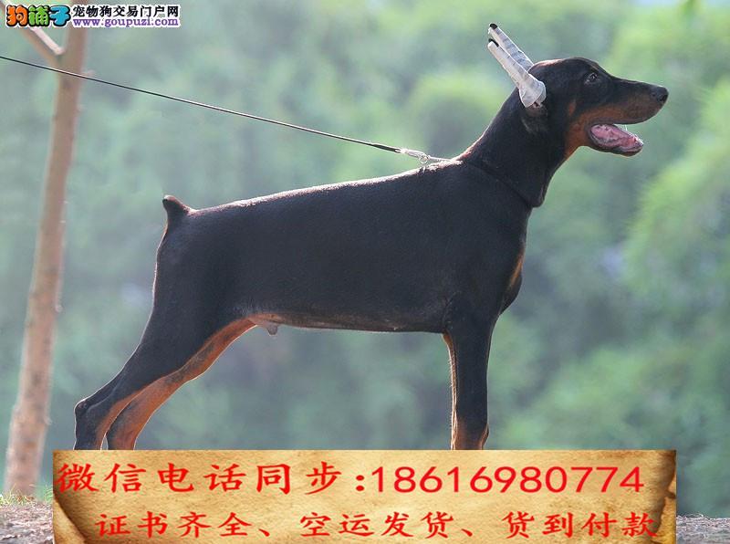 本地最大狗场直销杜宾犬一包健康可送货一签活体协议