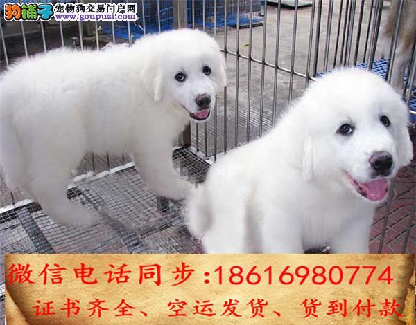 买纯种大白熊幼犬 视频看狗 送狗上门 可签协议