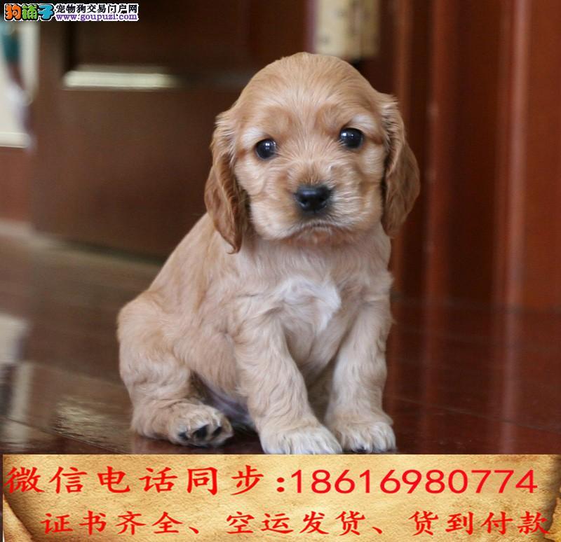 买纯种可卡幼犬 视频看狗 送狗上门 可签协议