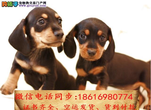 买纯种腊肠幼犬 视频看狗 送狗上门 可签协议