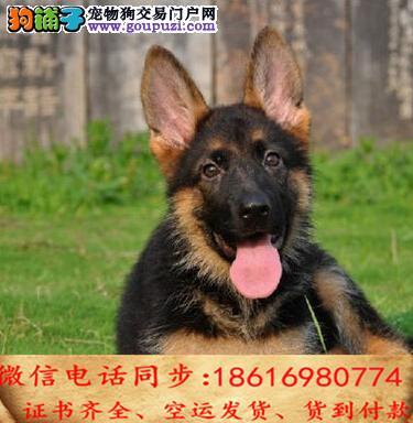 买纯种德国牧羊犬幼犬 视频看狗 送狗上门 可签协议