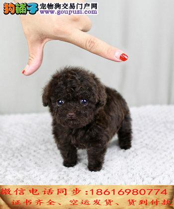 买纯种茶杯幼犬 视频看狗 送狗上门 可签协议