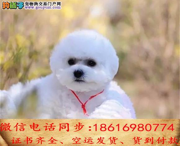 买纯种比熊幼犬 视频看狗 送狗上门 可签协议