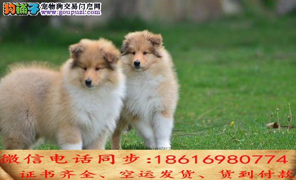 买纯种苏牧幼犬 视频看狗 送狗上门 可签协议