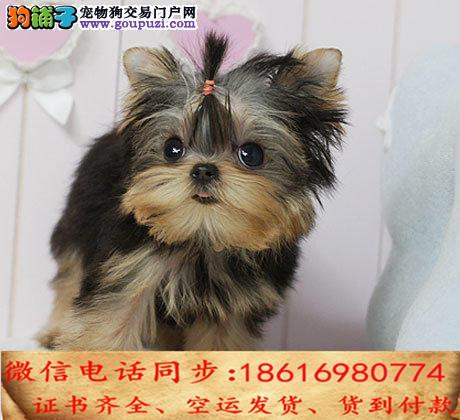 买纯种约克夏幼犬 视频看狗 送狗上门 可签协议