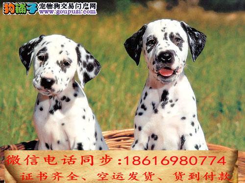 买纯种斑点幼犬 视频看狗 送狗上门 可签协议