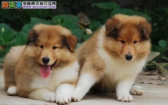 欢迎上门选爱犬及品鉴父母品质自家犬舍繁殖纯种苏牧犬