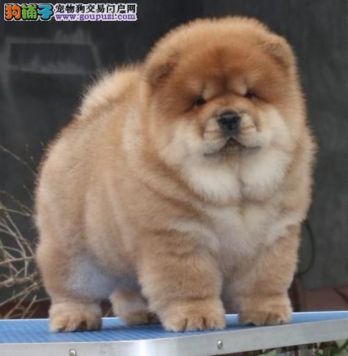 极品松狮犬幼犬、超级大骨量品相好、可上门挑选包健