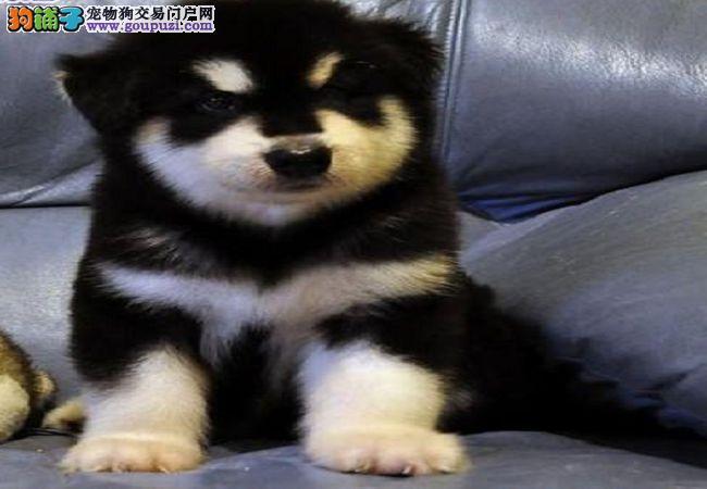 纯种大型犬阿拉斯加狗狗,黑白灰白宠物狗雪橇犬