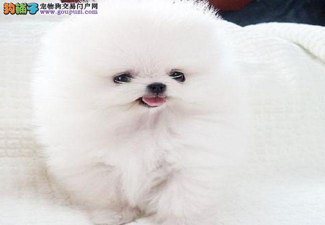 高品质俊介犬纯种博宝宝长不大狗狗保证健康好养超萌