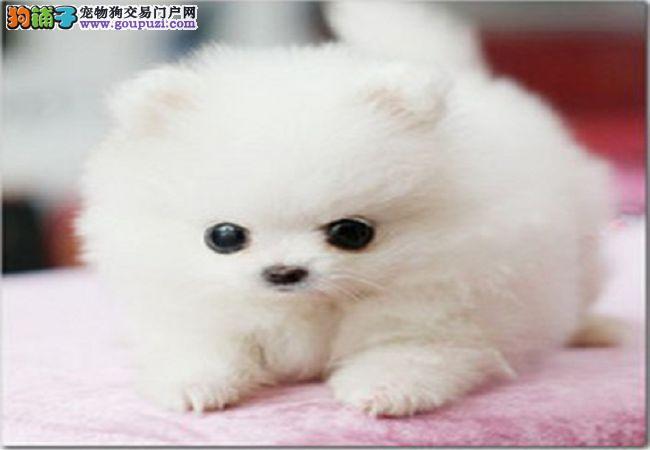 茶杯杯子小型犬宠物小狗狗活体包纯种袖珍狗