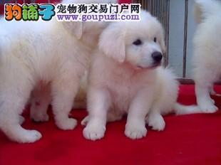 贵阳哪里有卖纯种大白熊健康的大白熊多少钱大白熊图片