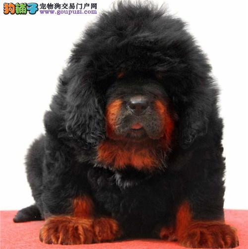 犬舍繁殖出售精品藏獒犬 骨架大 毛量足包健康纯种