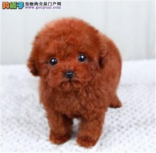 犬舍繁殖出售精品茶杯犬疫苗驱虫齐全包健康纯种