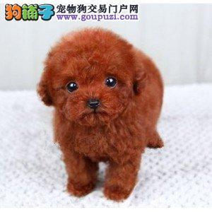 犬舍繁殖出售精品泰迪犬疫苗驱虫齐全多只可挑选