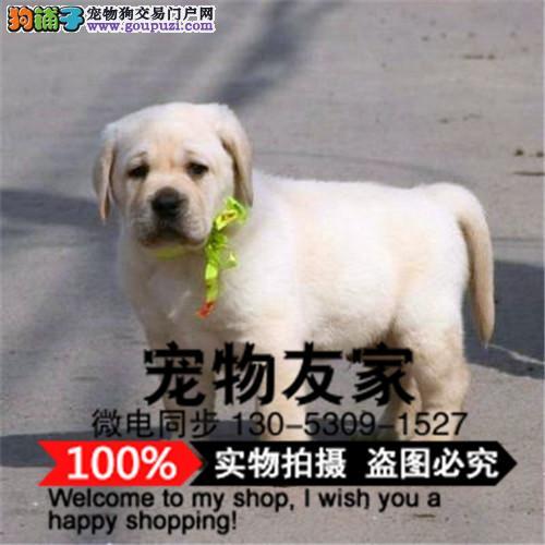 拉布拉多导盲犬 小七拉布拉多狗宠物狗