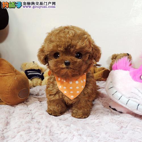 出售 赛级纯种袖珍迷你 泰迪茶杯幼犬