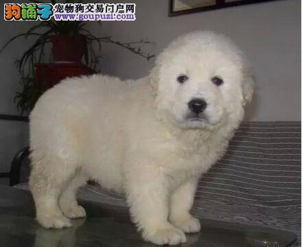1200出售精品纯种大白熊宝宝