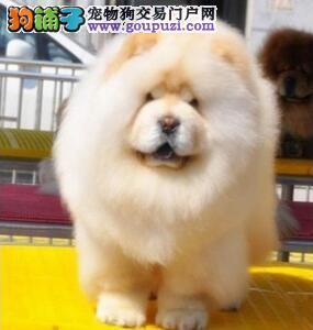 出售纯种松狮犬肉嘴松狮幼犬迷你松狮犬松狮宠物狗狗