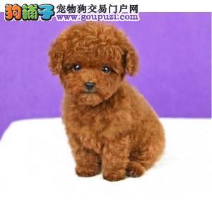出售纯种韩系双血统泰迪狗