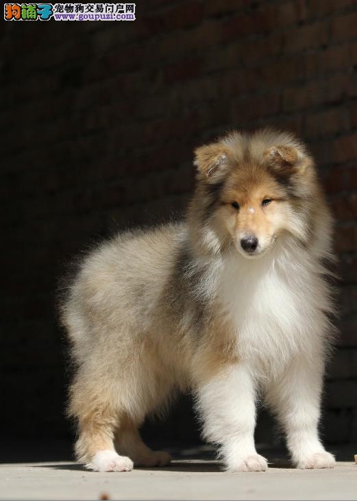 松江区哪里买苏格兰牧羊犬价格多少