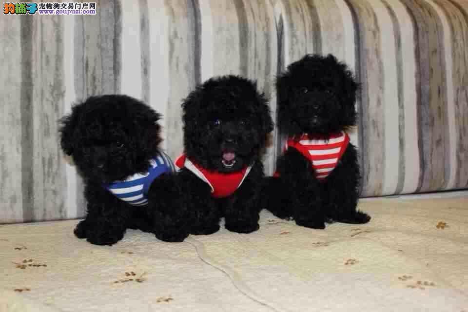 松江区哪里买泰迪犬价格多少
