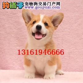 纯种威尔士柯基犬 柯基幼犬 两色三色均有