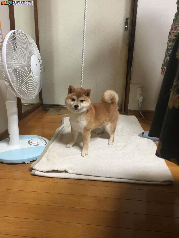 日系柴犬 白色赤色黑色精品柴犬 专业犬舍繁育
