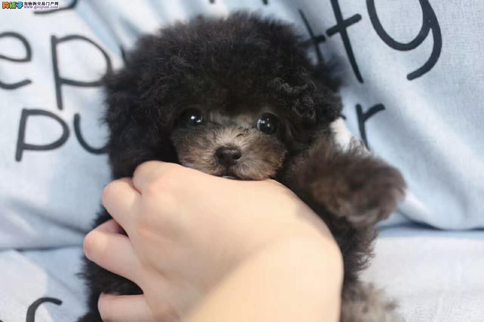 玩具卷毛纯种泰迪 茶杯泰迪韩系精品泰迪犬