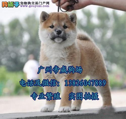 中山帝威犬舍有卖柴犬中山哪里有卖纯种柴犬多少钱一只