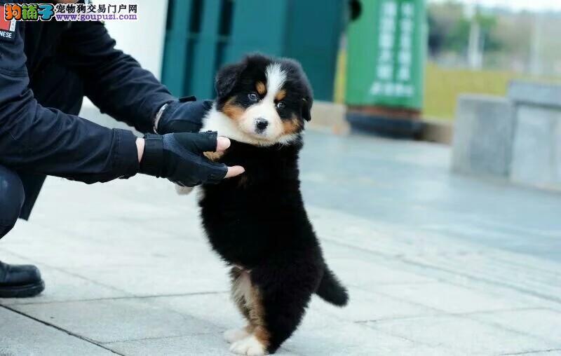 精品伯恩山山地犬 性格忠诚温顺 健康纯种幼犬出售