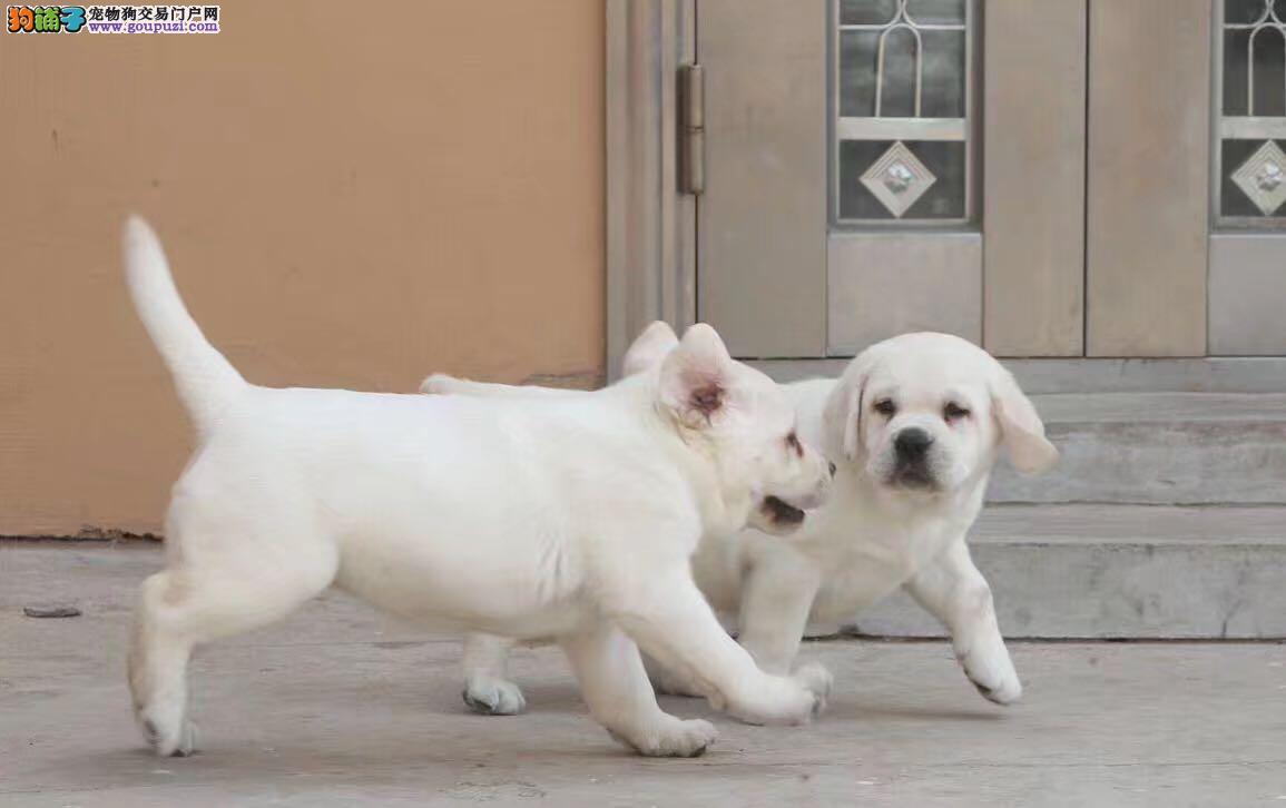 年底八折优惠 犬舍 所有拉拉幼犬出售