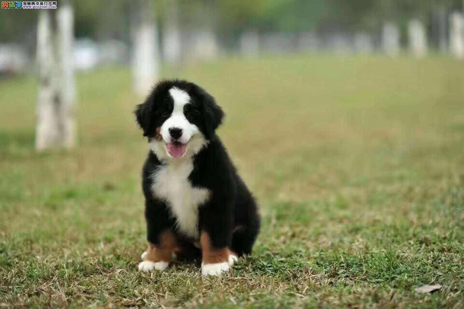 伯恩山犬 犬舍年底八折优惠出售幼犬宝宝
