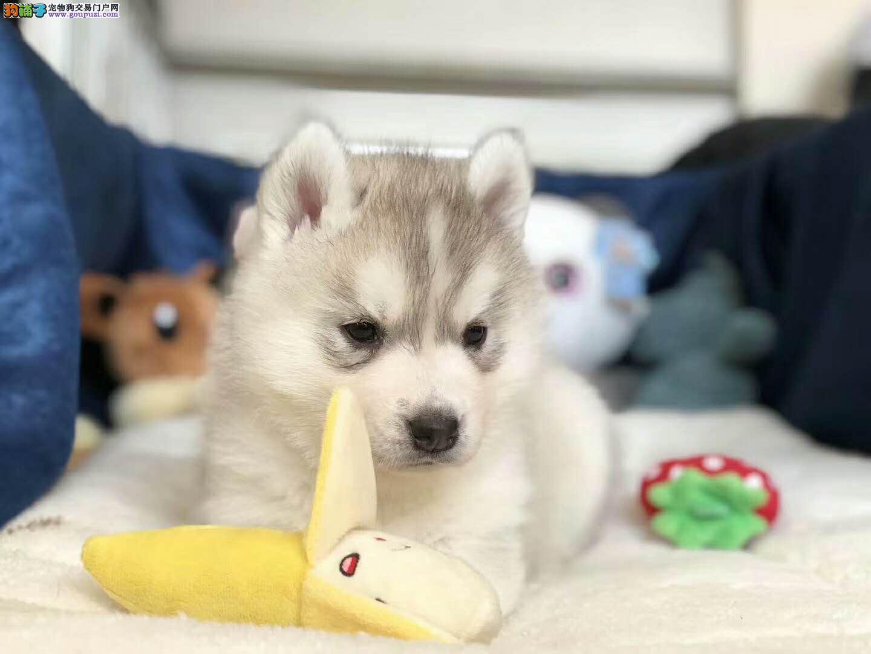 蓝眼睛纯种赛级品质 哈士奇犬宝宝出售