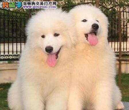 纯种大白熊犬 犬舍直销 健康质保售后