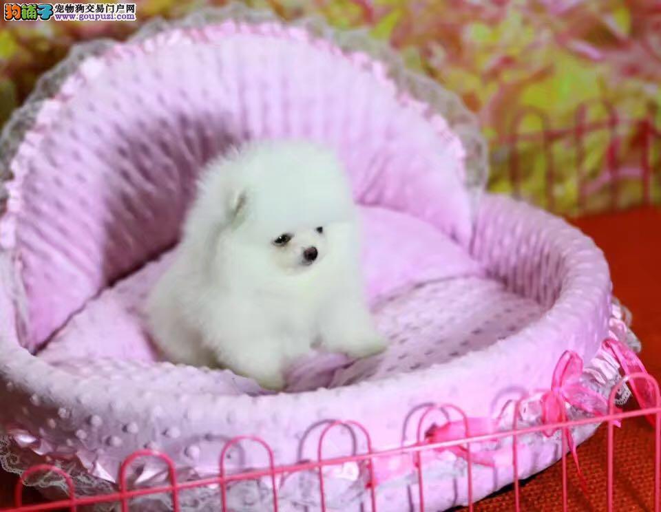 冰雪聪明球体网红犬 茶杯博美俊介犬出售