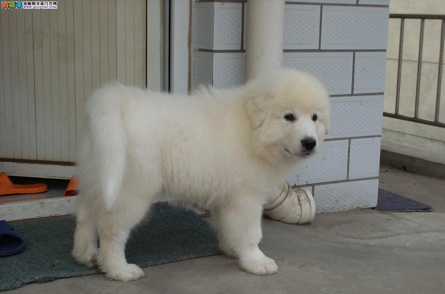 忠诚纯种大白熊犬 幼犬出售 健康质保签协议