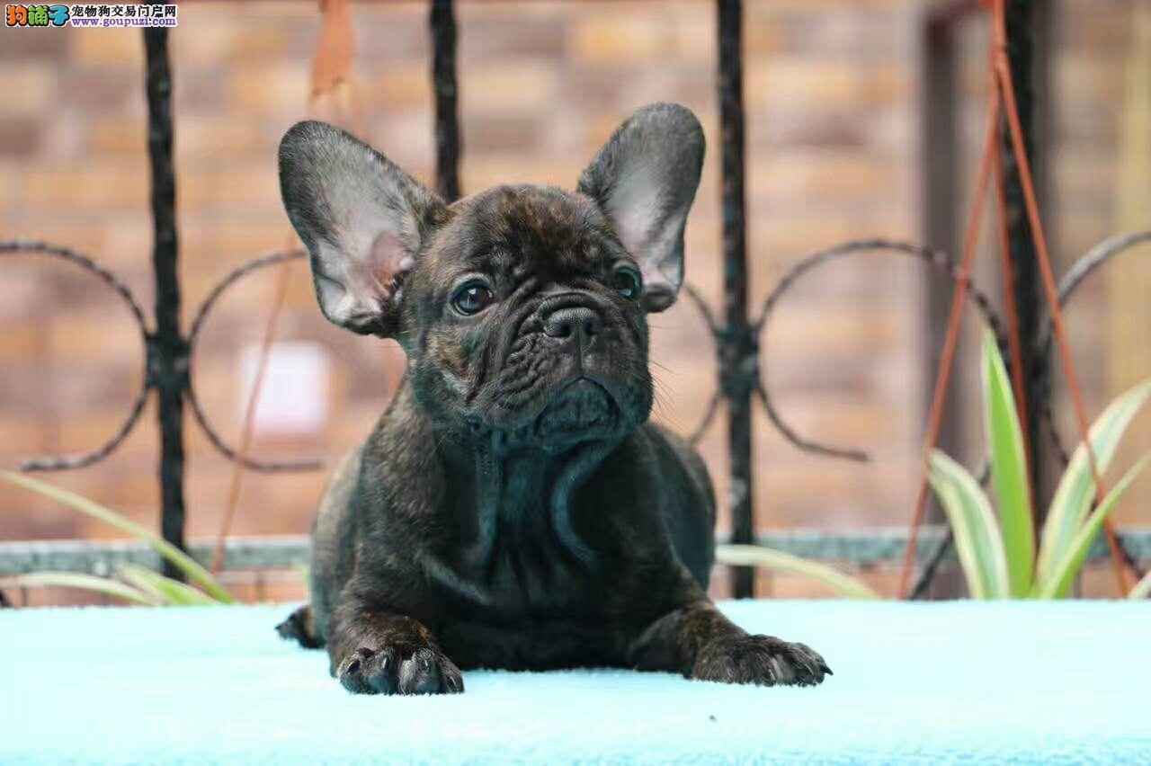 法国斗牛犬 正规繁殖犬舍 长期出售小法斗各种色全