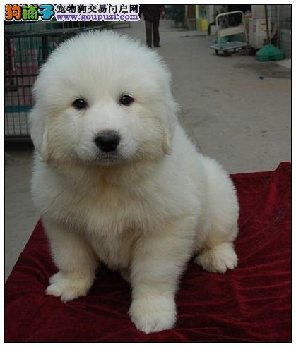 温顺懂事 纯种大白熊犬 自家犬舍繁育 幼犬健康包活