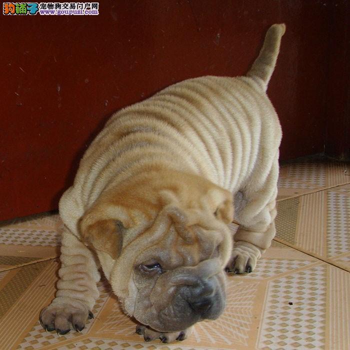 精品纯种沙皮犬 小型犬 性格温顺 适合家庭喂养