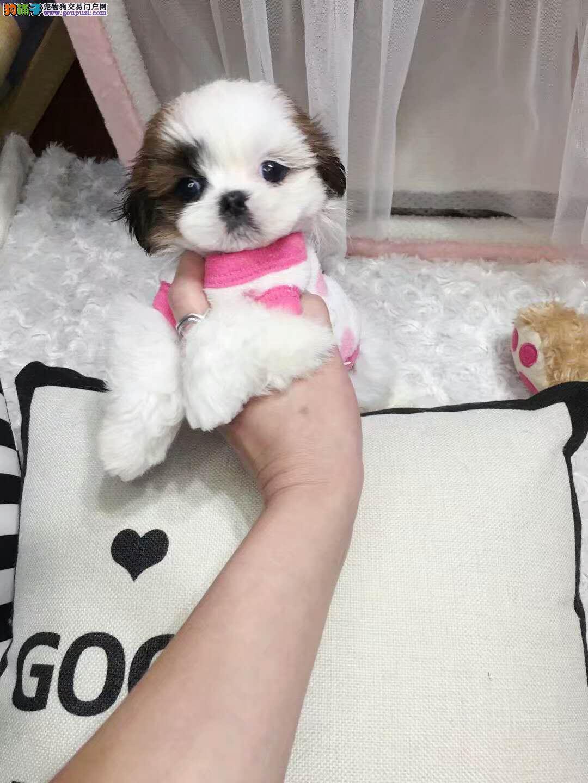 可爱西施犬 小型犬 正规繁殖犬舍