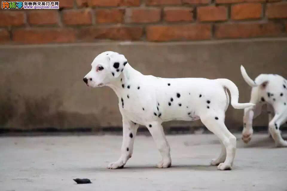 纯种斑点狗出售 健康质保售后 三针做完全部