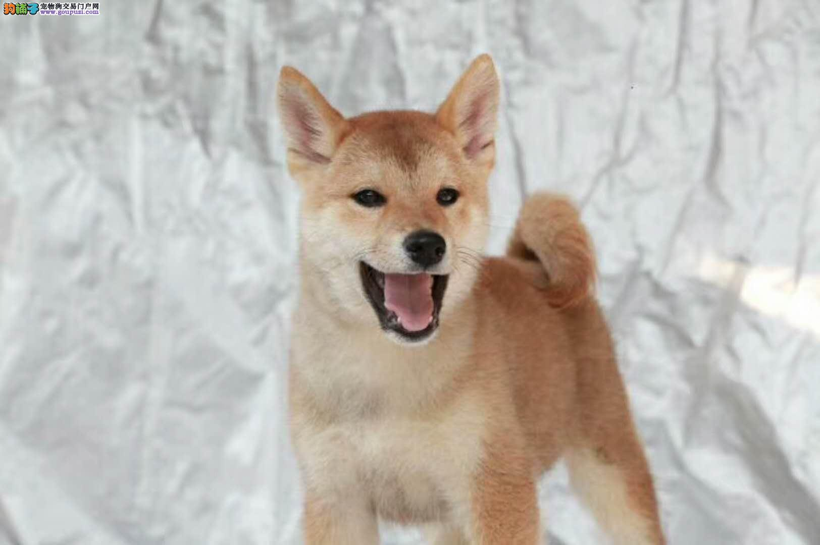 健康纯种 高智商日系柴犬幼犬出售