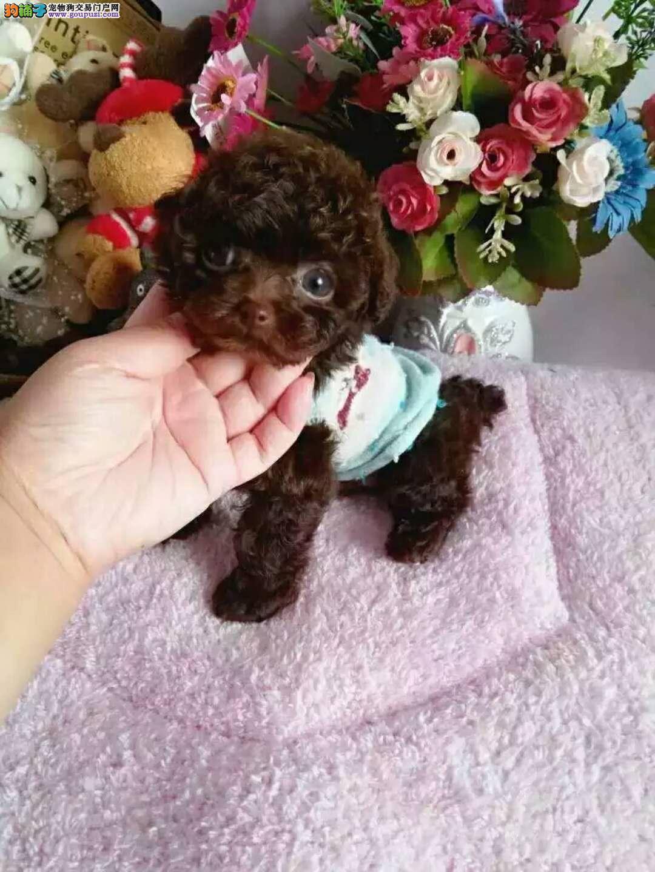 长不大小体泰迪犬 韩系纯种泰迪熊犬出售