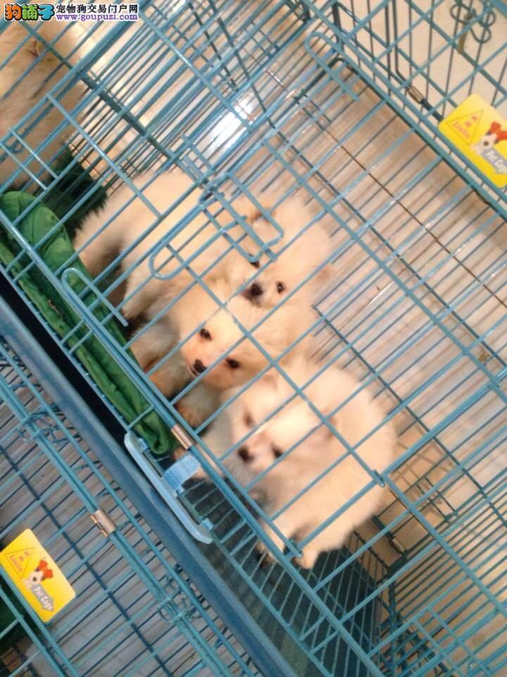 闵行区哪里买博美犬繁殖场犬舍