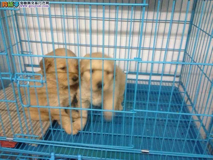 闵行区哪里买金毛犬繁殖场犬舍