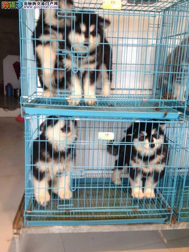 闵行区哪里买阿拉斯加犬繁殖场犬舍