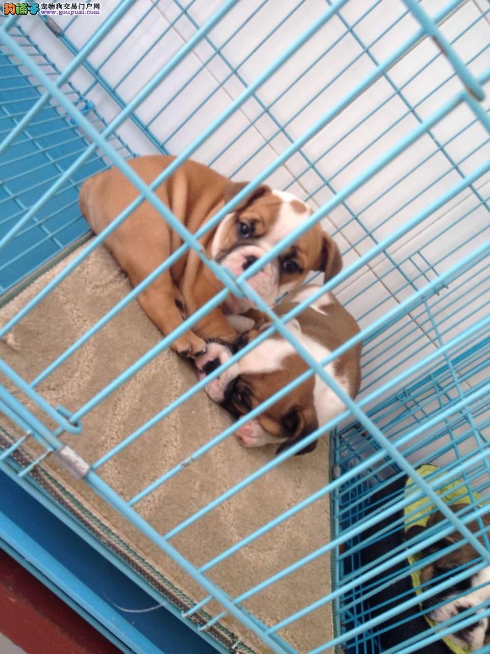 青浦区本地繁殖狗场哪里卖英国斗牛犬