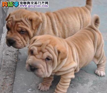 高品质的沙皮幼犬出售 健康活泼品质非常好喜欢的来