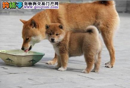 专业培育日本柴犬 精品幼犬出售 欢迎实地参观选购